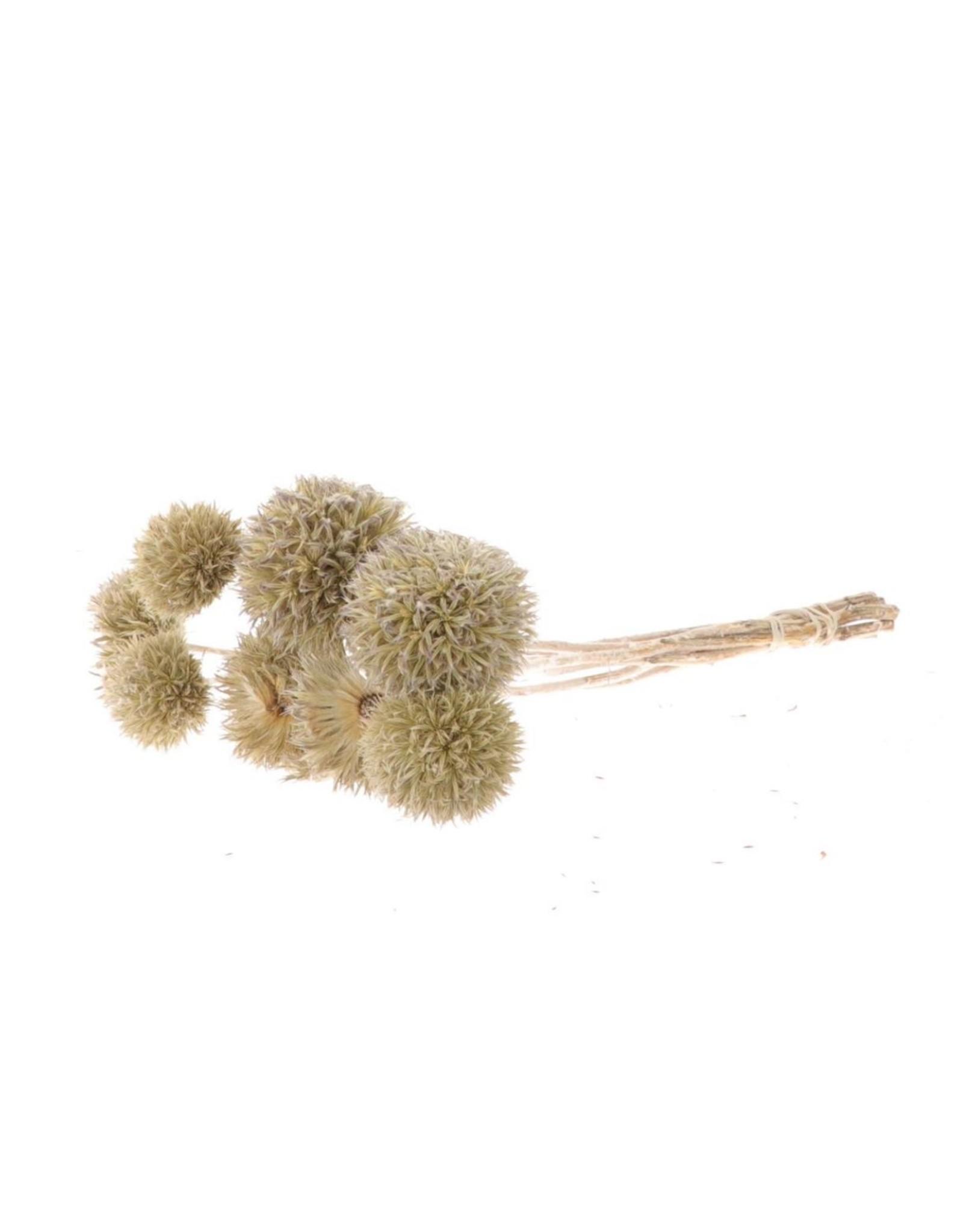 HD Bündel Eryngium Short natürlich Trockenblumen (x 4)