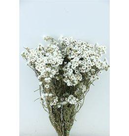 GF Trockenblumen Ixodia 40cm P. Stem (x 10)