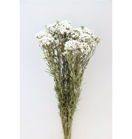 GF Trockenblumen Ixodia 60cm P. Stem (x 10)