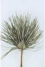 GF Dried Chamaerops (10tk) Natural Bunch x 2