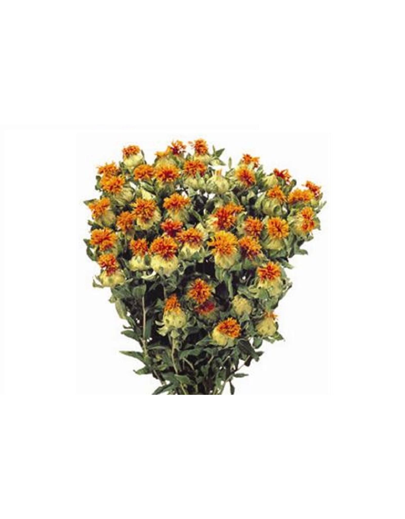 HD bos Carthamus Oranje in hoes (x 15)