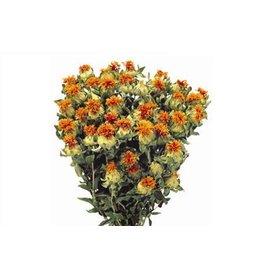 HD Bündel Carthamus Orange Slv (x 15)
