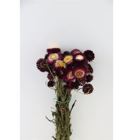 GF Gedroogde Helichrysum D. Roze Bunch x 3