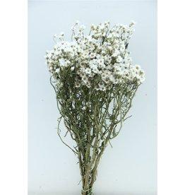 GF Trockenblumen Ixodia 50cm P. Stem (x 10)