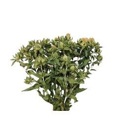 HD Bündel Carthamus grün (x 15)