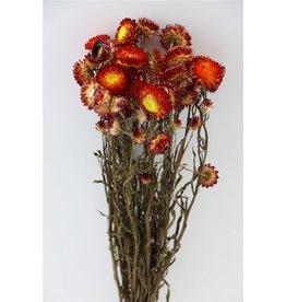 GF Trockenblumen Helichrysum rot Bündel (x 5)