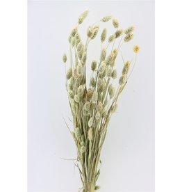 GF Trockenblumen Phalaris natürlich Bündel (it)  x 3