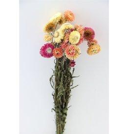 GF Trockenblumen Helichrysum Salmon Bündel (x 3)