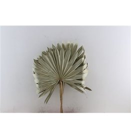 GF Dried Palm Sun Extra 5pc Naturel x 5