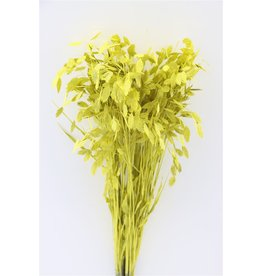 GF Dried Chasmantium Yellow P Stem x 100