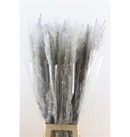 GF Dried Cortaderia Dadang 100cm Grey x 10