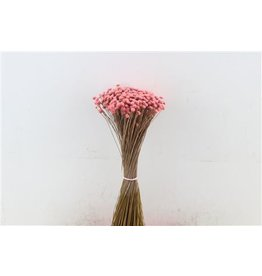 GF Dried Amerlino Soft Pink P Bunch x 2