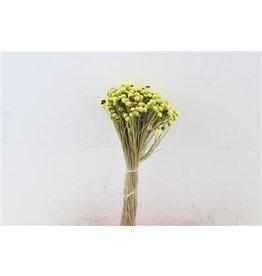 GF Dried Botao Yellow P Bunch x 2