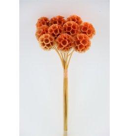 GF konserviert Scabiosa Orange P. Stem (x 300)