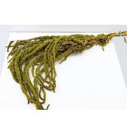 GF konserviert Amaranthus Caud Moss grün 150gr Bündel Jw (x 20)