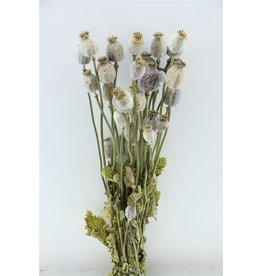 GF Trockenblumen Papaver natürlich Bündel (l)  x 3