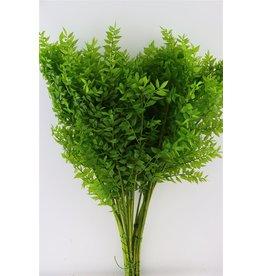 GF konserviert Ruscus Apple grün P. Stem (x 25)