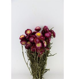 GF Droogbloemen Helichrysum Fuchsia Bos (X 3)