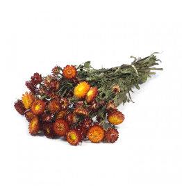 4AT Getrocknete Blume Helichrysum 60cm pro stück