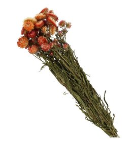 4AT Droogbloem Helichrysum 60Cm Per Stuk
