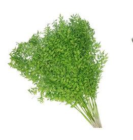 4AT Getrocknete Blume Ruscus 65cm (x 25)