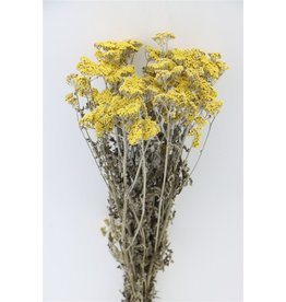 GF Trockenblumen Achillea Moonshine Bündel (x 3)