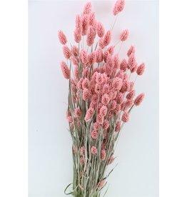 GF Trockenblumen Phalaris Frosted L. rosa Bündel (x 5)