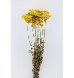 GF Droogbloemen Achillea Naturel Bos (X 5)