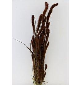 GF Trockenblumen Setaria Dark braun Bündel (x 3)