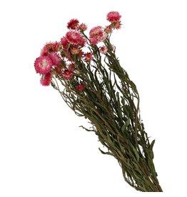 4AT Droogbloem Helichrysum 60Cm (X 1)