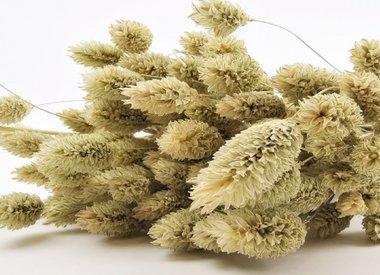 Phalaris - Canary grass