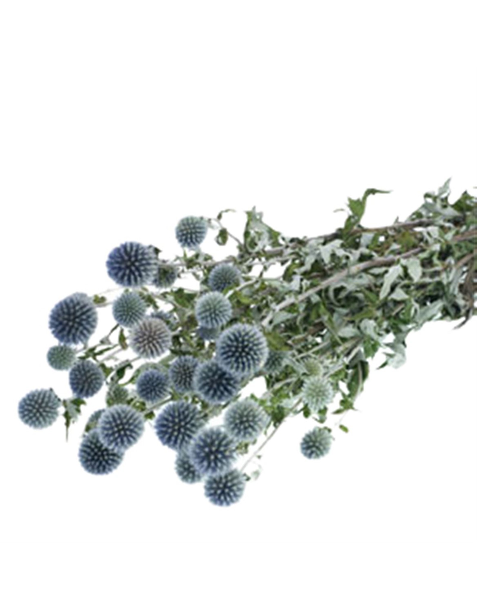 HD bos Echinops blauw in hoes (x 20)