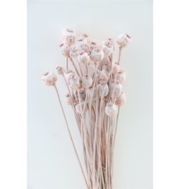 GF Dried Papaver Frosted Salmon bos (x 4)