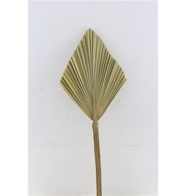 GF Dried Palm Speer Small Naturel Stem ( x 5 )
