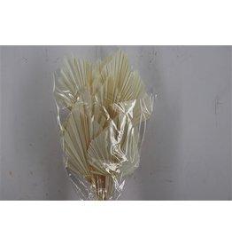 GF Dried Palm Spear 10pc Bleached P Bu ( x 3 )