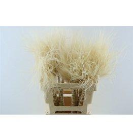 GF Dried Stypha Penata Toef Naturel Bunch ( x 5 )