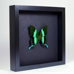 Papilio blumei ingelijst op zwarte achtergrond