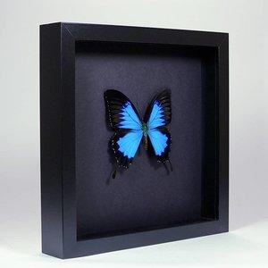 Papilio ulysses ingelijst op zwarte achtergrond