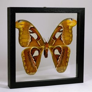 Attacus atlas in dubbelglas lijst
