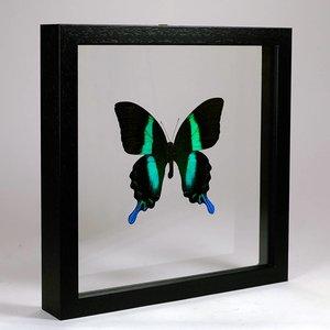 Papilio blumei in dubbelglas lijst