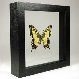 Papilio machaon in kleine dubbelglas lijst