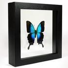 Papilio pericles