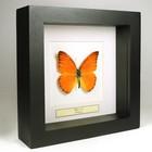 Vlinders in kleine lijst