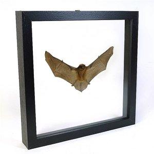 Opgezette vleermuis in dubbelglaslijst