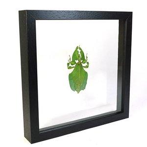 Phyllium celebicum in dubbelglas lijst