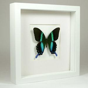 Papilio blumei in witte lijst