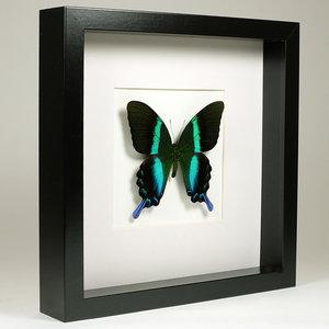 Papilio blumei in zwarte lijst