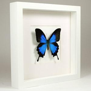 Papilio ulysses in witte lijst