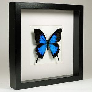 Papilio ulysses in zwarte lijst