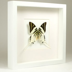 Graphium androcles in witte lijst